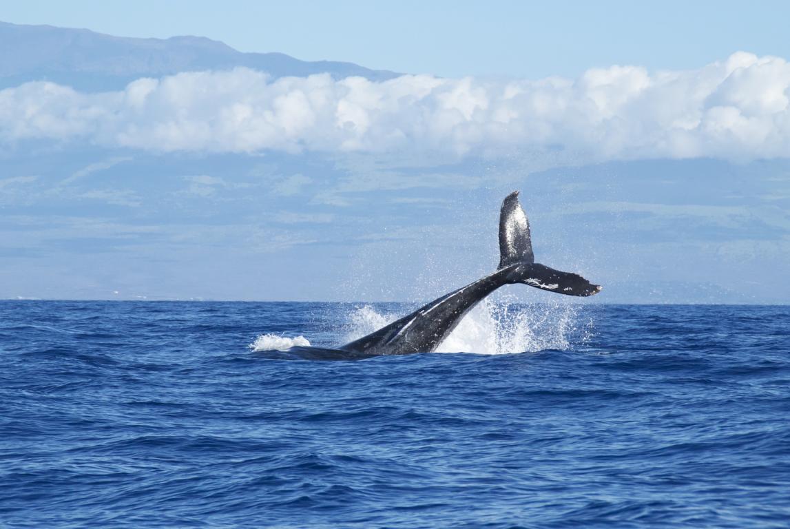 Typisch Island: Whale Watching von umweltfreundlichen Segelschonern