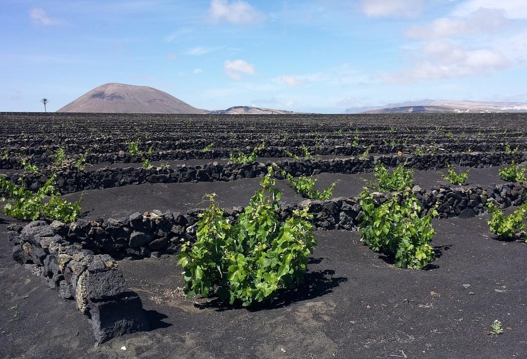 Typisch Lanzarote: Grüne Weinreben auf schwarzer Lava bei La Geria