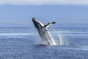 wal_humpback-whale-436120_1920